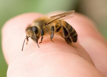 Các cách đơn giản làm dịu đau nhức vết ong châm